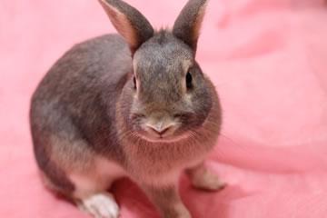ウサギの避妊